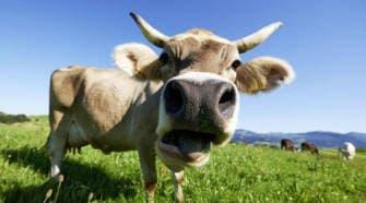 Если корова подавилась корнеплодами