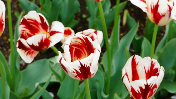 Как предотвратить пестрые лепестки на тюльпанах
